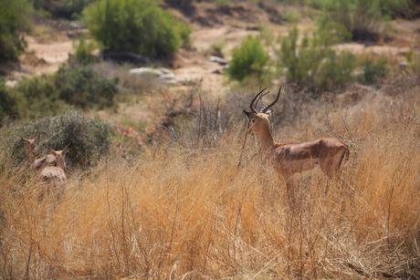 Impala's blik