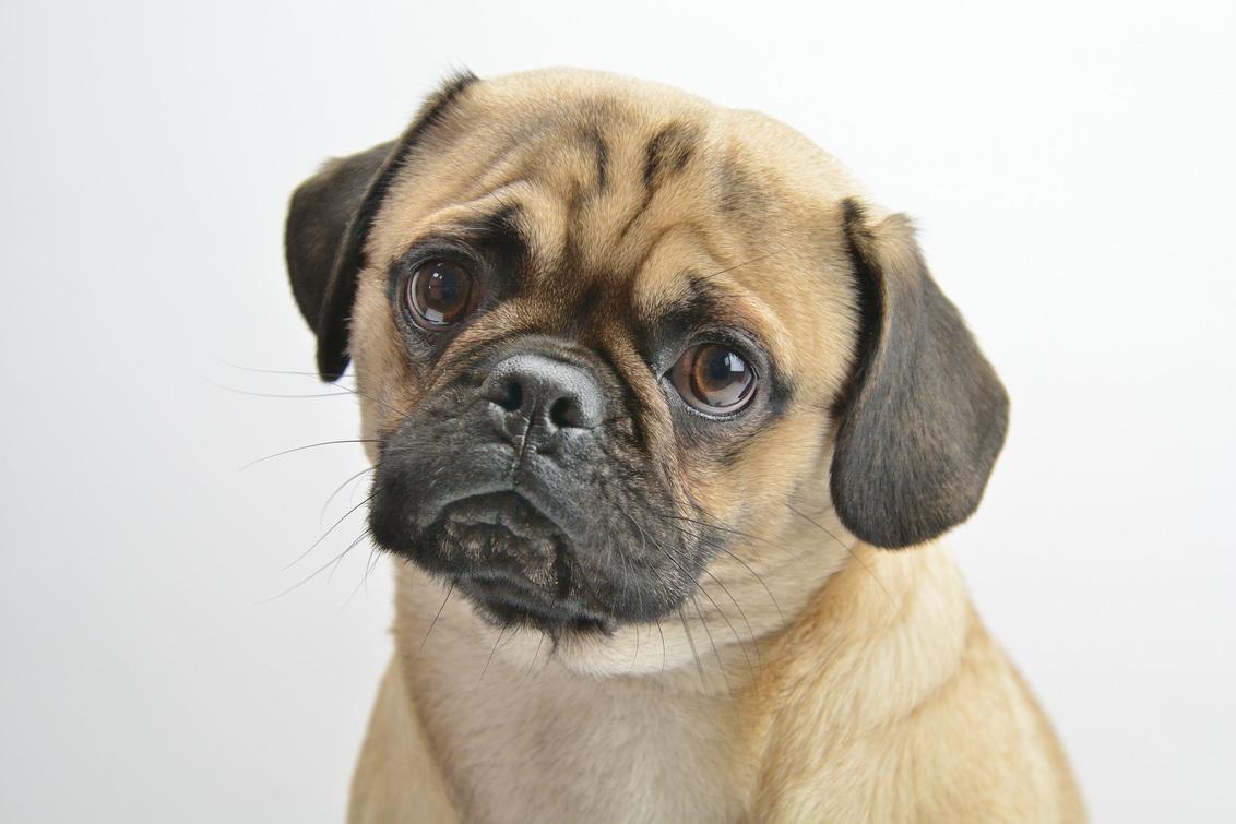 Duitse Retro Mops - Als je een mopshond goed bekijkt dan zie je een hond met een zeer opvallend uiterlijk en een enthousiaste uitdrukking, je ziet een hond met een rond  - foto door johandekens op 06-01-2020 - deze foto bevat: dieren, huisdier, hond, mopshond, nieuwsgierig, vriendelijk, rashond, attent, krul in de staart
