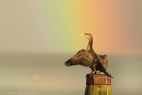 Aalscholver in de regenboog.
