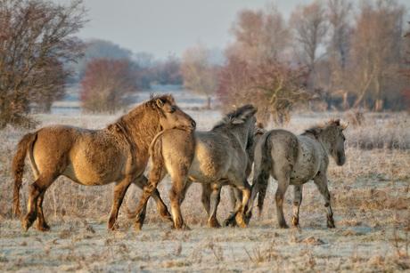 Blauwe Kamer-Konikpaarden.