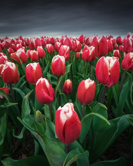 Rode tulpen op een donkere dag