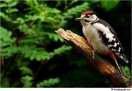 Bonte Specht - Alvast bedankt voor jullie reactie's.  Gr, Johannes - foto door cowiefotografie op 22-12-2017 - deze foto bevat: rood, wit, natuur, zwart, vogel, wildlife, bonte specht