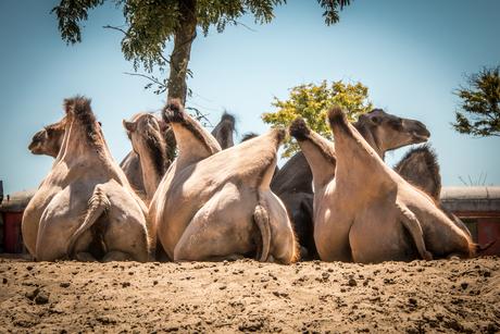 Kamelen op een kluitje