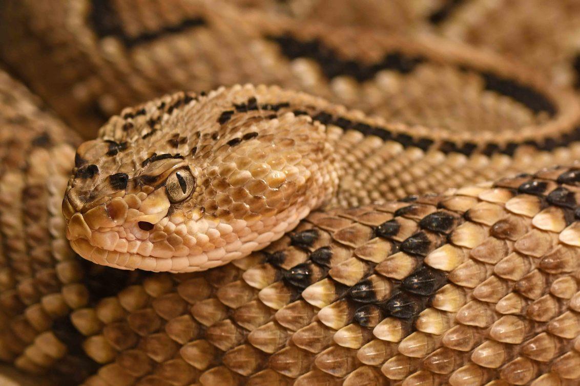 typisch amerikaans - Ratelslangen behoren tot de adders. Ratelslangen komen voornamelijk in Noord-Amerika voor. Buiten de VS en Mexico komen er drie soorten uit Zuid-Amer - foto door BasvanHulst-Kuiper op 11-09-2020 - deze foto bevat: dierentuin, slang, dierenpark, zoo, reptiel, ratelslang, terra natura, bas van hulst-kuiper, basvanhulst-kuiper, crotalus culminatus, midden amerikaanse ratelslang