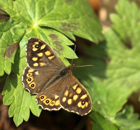 bont zandoogje - Deze algemene bosvlinder is de laatste jaren toch sterk afgenomen in aantal. - foto door rwonink op 29-04-2013 - deze foto bevat: zon, vlinder, bont, zandoogje, geranium, rups, voorjaar, bosvlinder, bont zandoogje