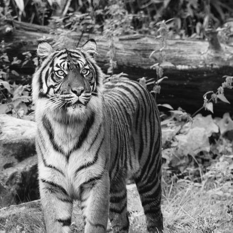 Sumatraanse tijger in Z/W