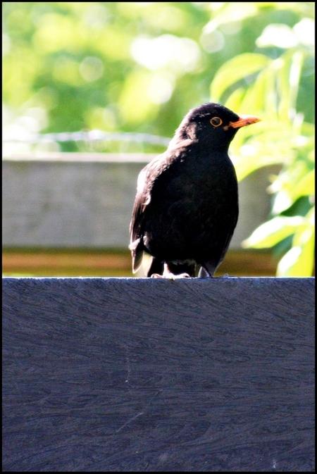Mereltje komt even kijken - - - foto door LvBavi77 op 02-06-2009 - deze foto bevat: merel, vogel, nieuwsgierig