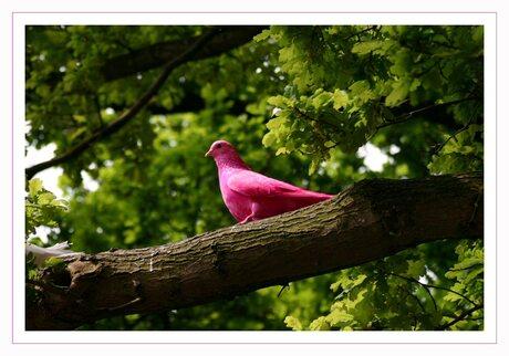 Roze duif