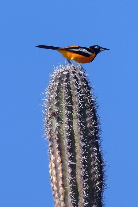 oranje troepiaal - trekt zich van de stekels niets aan - foto door Krea10 op 13-04-2021 - locatie: Aruba - deze foto bevat: lucht, vogel, fabriek, blauw, terrestrische plant, takje, bloeiende plant, toren, zangvogel, bek