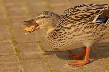 Close-up van de brood etende eend (vrouwtje).