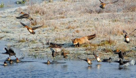 vos aan het jagen