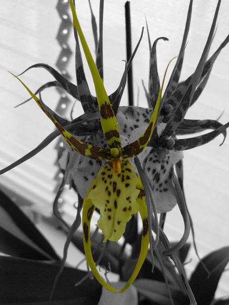 orchidee cambria bewerkt