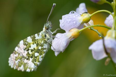 Een stofje in mijn oog - - - foto door frankjacobs op 18-04-2019 - deze foto bevat: groen, macro, bloem, natuur, pinksterbloem, vlinder, druppel, geel, licht, oranjetipje, insect, nikon, dauw, dof, bokeh, jacobs frank, frankjacobs, nikon d5