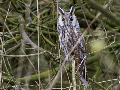 Ransuil, Long-eared owl, Asio otus