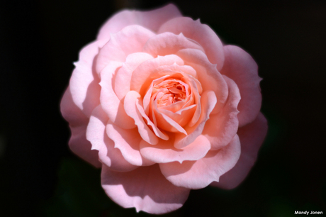 The Rose of Love