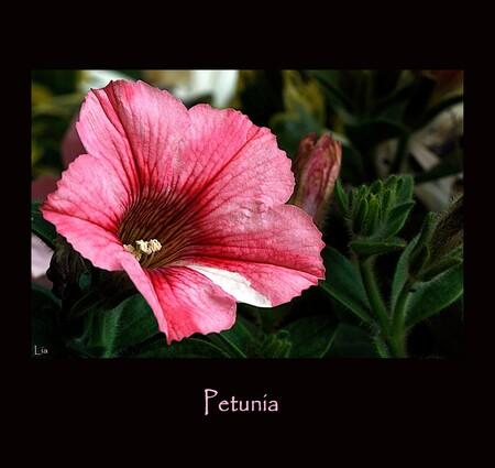 petunia - bloem van de petunia - foto door yaratess op 27-05-2010 - deze foto bevat: roze, macro, bloem, petunia