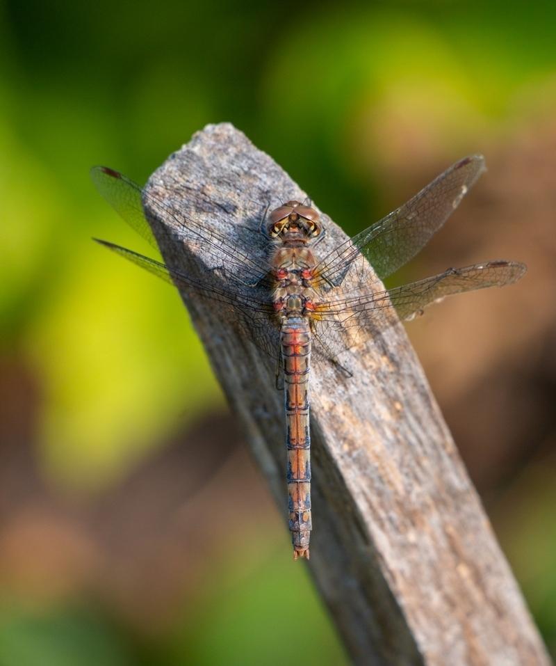 The Last Dragon - Vermoedelijk de laatste libelle die het paaltje aan doet dit jaar :)  Foto is van afgelopen week - foto door PNCO op 27-09-2020 - deze foto bevat: macro, libelle, tuin, laatste, paaltje, bokeh