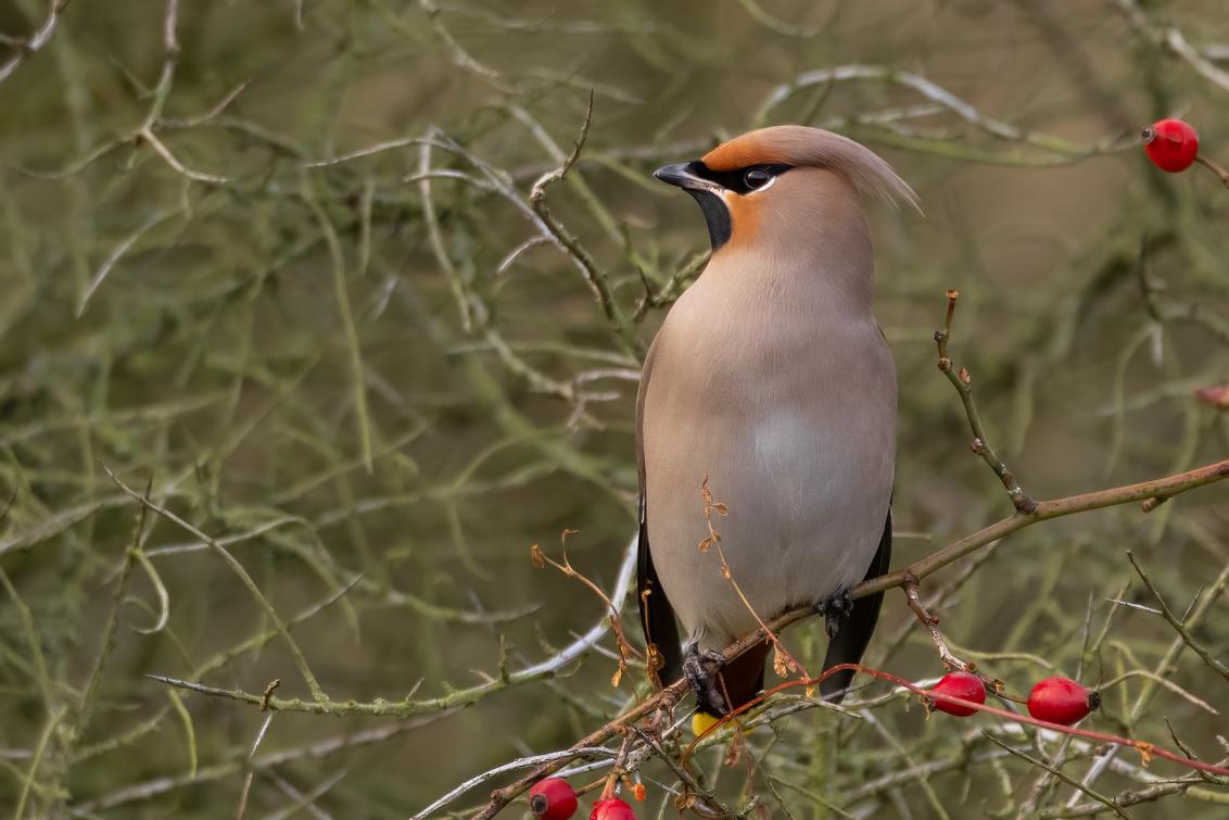 Pestvogel - De pestvogel is een opvallende verschijning. Door de kleuren en het geluid is hij onmiskenbaar. De kuif is vaak erg opvallend. De soort komt invasief - foto door FatCatPhotography op 12-01-2021 - deze foto bevat: vogels, winter, vogel, pestvogel, bes, kuif, dierenfotografie, vogelfotografie, wintervogel, Bohemian Waxwing, invasief