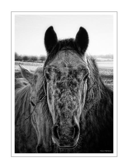 Winter Horses!! - Hallo... hier is de afgelopen dagen terug een beetje sneeuw gevallen, niet zoveel als de vorige keer maar toch genoeg om alles terug een beetje wit  - foto door smeagol op 04-01-2010 - deze foto bevat: paarden, sneeuw, winter, s5, smeagol, zwart wit