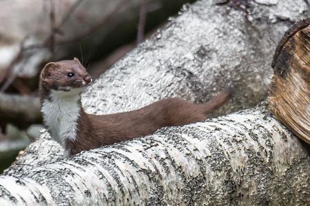 Mijn allereerste hermelijn - Mijn aandacht werd laatst getrokken door een groepje groenlingen die vrolijk aan het fluiten waren. Terwijl ik deze aan het fotograferen was, zag ik  - foto door FotografieJeronimo op 14-08-2020 - deze foto bevat: natuur, dieren, fotografie, marter, roosendaal, hermelijn, Jeronimo