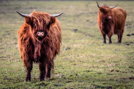 Schotse Hooglanders bij Lauwersmeer