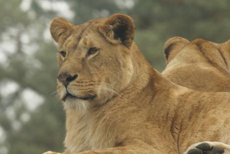 mooie leeuwin beekse bergen