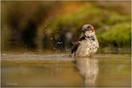 Musje in bad - Ik zie ze niet vaak bij fotohutten en dan is het leuk als de kans zich voordoet om eens een badderende mus te fotograferen. De druppels vliegen in he - foto door Gertj123 op 10-05-2020 - deze foto bevat: water, natuur, dieren, vogel, wildlife, zangvogel