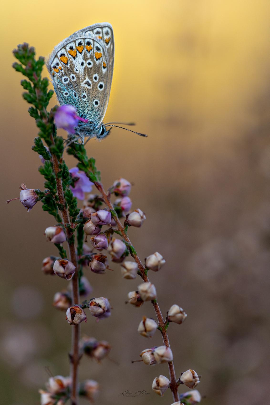 Stand alone - Het blijft mooi om een Icarusblauwtje te fotograferen - vooral tussen de paarse heide ;) - foto door Alex-Maas1 op 23-09-2020 - deze foto bevat: groen, paars, macro, wit, blauw, zon, bloem, natuur, vlinder, bruin, blauwtje, geel, oranje, zwart, tegenlicht, zomer, insect, dof, bokeh
