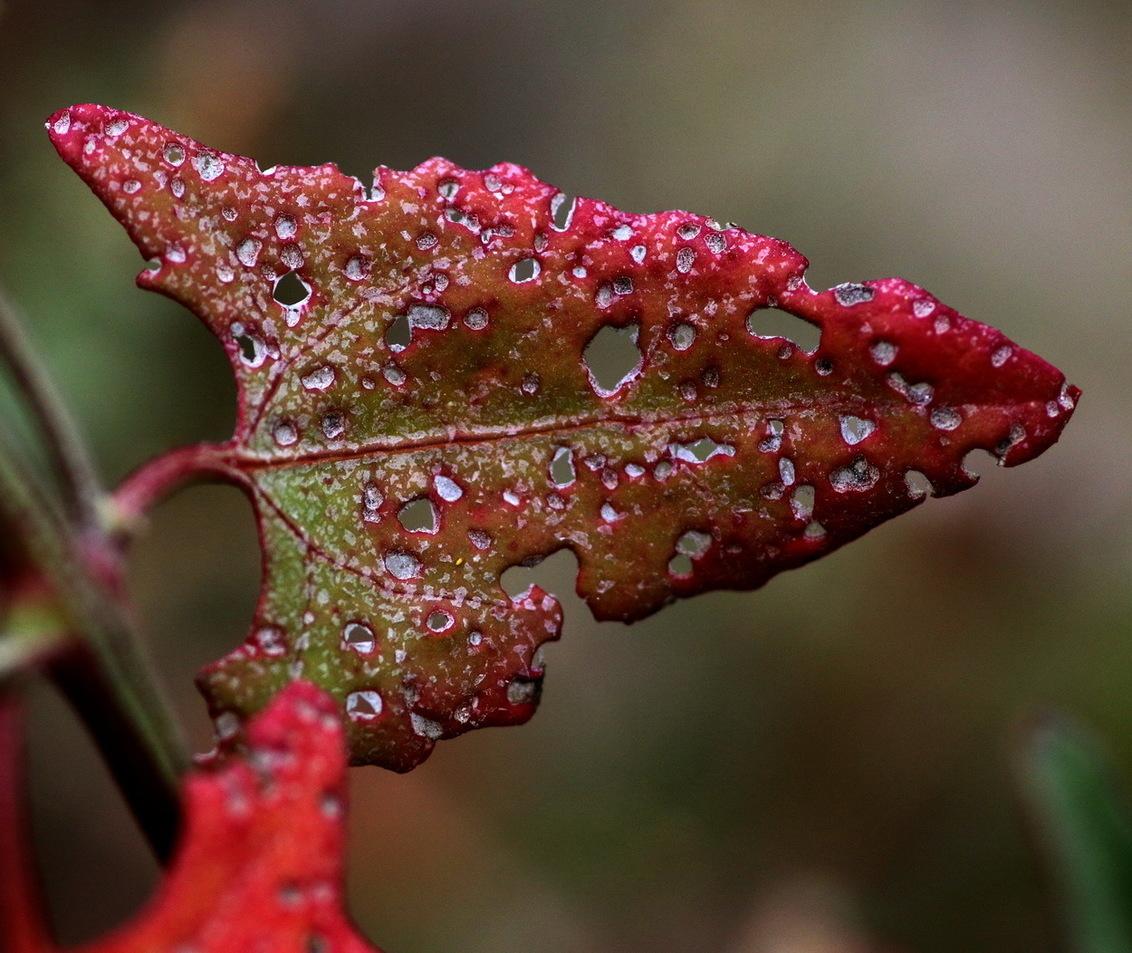 herfstblad - Vandaag eens een wat andere benadering van de herfstfoto. Dit zijn bladeren van laag bij de grond groeiende vetplanten die een paar weken geleden in  - foto door fotohela op 19-10-2017 - deze foto bevat: roze, groen, paars, rood, macro, bloem, natuur, bruin, geel, licht, oranje, herfst