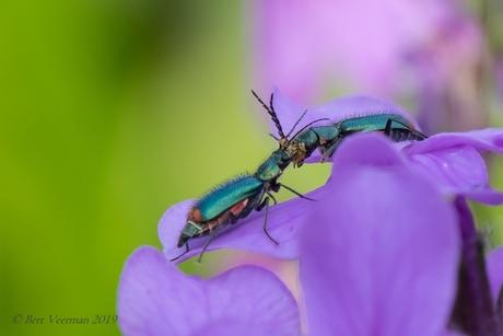Clanoptilus marginellus ( bloemweekschildkever sp.)
