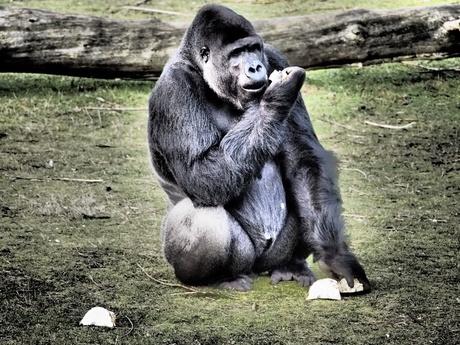 Gorilla bewerkt