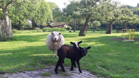 stoeien onder ouderlijk toezicht - moeders houd kinderen goed in de gaten. - foto door RolandvanTol op 07-03-2021 - deze foto bevat: gras, lente, natuur, dieren, schaap, lam