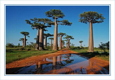 baobab bonanza