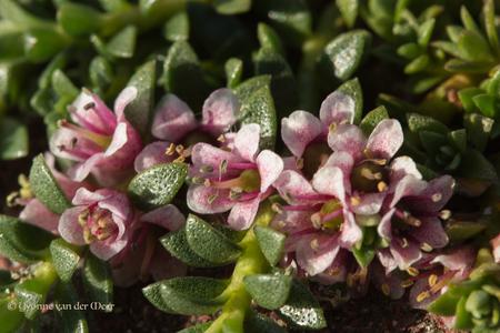 Klein maar fijn... - 7 juni '15 Ook dit was bij Moddergat.  Hele kleine bloemetjes tussen de stenen. Ik heb deze met mijn 60 mm macrolens genomen en toen kon je ze eig - foto door yvonnevandermeer op 31-07-2015 - deze foto bevat: roze, macro, bloem, natuur