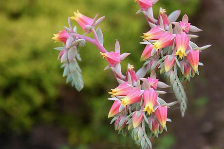 bloeiende vetplant
