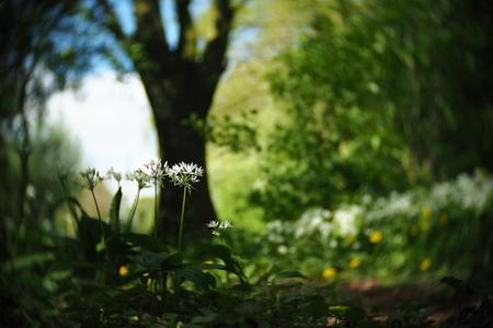 Daslook - fotowedstrijd puur natuur inzending 1 - Inzending voor de fotowedstrijd puur natuur. Een serie foto's van daslook dat in het voorjaar in het wild bloeit. Het draaierige en wat kleurrijkere/ - foto door mdebeer op 30-12-2018 - deze foto bevat: boom, bloem, lente, natuur, landschap, bos, voorjaar, nederland