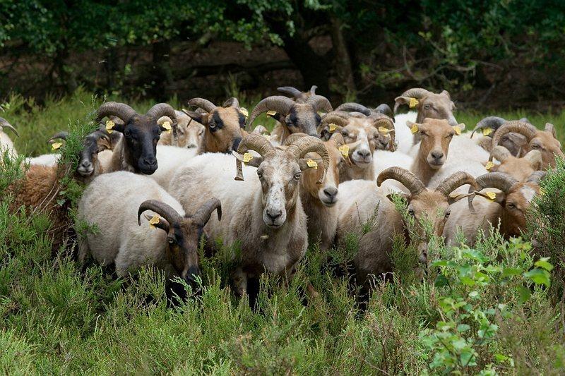 Drents heideschaap - Langs onze wandeling kwam een herder met zijn schapen langs. - foto door coryvon op 03-07-2009 - deze foto bevat: schaap, schapen, drents heideschaap