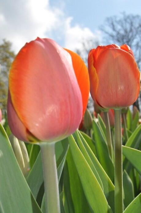 Hollanse Tulpen