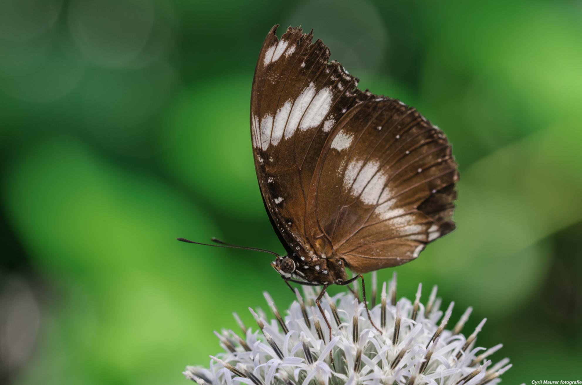 Bruine kluernpracht met witte bloem - Groot kijken dan komt die beter to ze recht dank :)  deze foto heb ik genomen in mijn eena laatste bezoek aan de Botanische tuinen Utrecht. - foto door sipmaurer op 02-10-2015 - deze foto bevat: groen, macro, wit, bloem, natuur, vlinder, bruin, zwart, zomer, dof, bokeh, botanische tuinen utrecht, vlinder kas