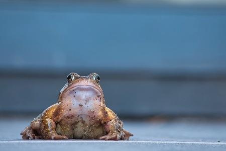 Dikke Pad! - Kom ik eergisteren thuis van het fotograferen van de blauwe heikikker, zit er dit bij mijn schuifpui. Nou ja zeg, een dikke pad! :)  Bedankt voor h - foto door JerPet op 01-04-2021 - deze foto bevat: kikker, natuur, pad