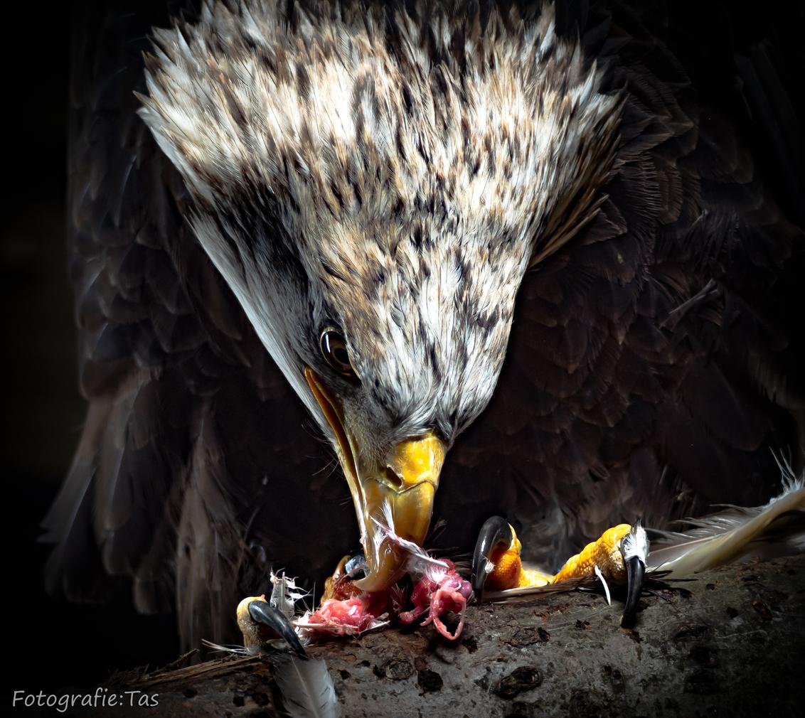 Aan tafel....... - - - foto door Taswor op 21-01-2019 - deze foto bevat: zeearend, roofvogel