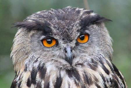 OeHoe - - - foto door WilliamGasman op 09-10-2017 - deze foto bevat: uil, natuur, dieren, roofvogel
