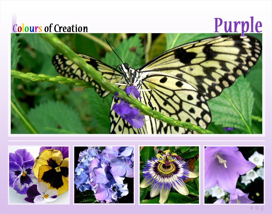 COC: Purple - Dit is de eerste collage uit mijn 7-delige serie 'Colours of Creation'  Kleuren uit de natuur.  Ik begin met paars en hierna volgen dus nog de 6  - foto door daniel44 op 19-10-2008 - deze foto bevat: kleuren, paars, natuur, collage, colours, creation, serie, daniel44