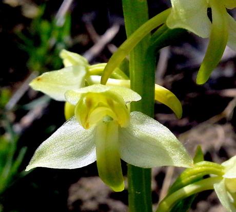 Bergnachtorchis, macro bloempje