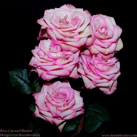 Gewoon van genieten - Ik maak tegenwoordig vele foto's van bloemen voor onze Webshop .Het voor mijn een tijd geleden dat ik een foto op Zoom heb geplaatst. Deze wilde ik m - foto door XIANG op 05-04-2012 - deze foto bevat: roos