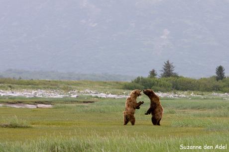 Spelende beren, Alaska
