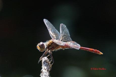 Steenrode Heidelibel man, Sympetrum vulgatum