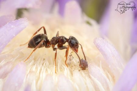 Mier met Bladluis - Mier is aan het snoepen van het sap wat het Bladluisje afscheidt. - foto door amanda_blom1992 op 29-07-2018 - deze foto bevat: macro, natuur, mier, bladluis, insect