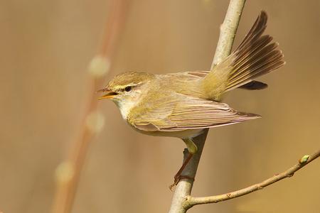 Fitis - Nog een foto van afgelopen voorjaar.   Iedereen bedankt voor de mooie commentaren op mijn vorige upload en  allemaal een fijn weekend gewenst! - foto door tom kruissink op 25-01-2014 - deze foto bevat: natuur, vleugels, vogel, voorjaar, dier, zingen, staart, trekvogel, fitis, zangvogel, broedvogel
