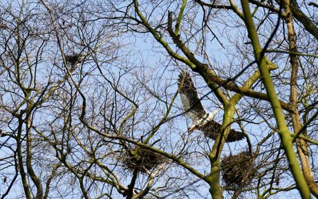P1180989 reigers op hun nest en in de vlucht